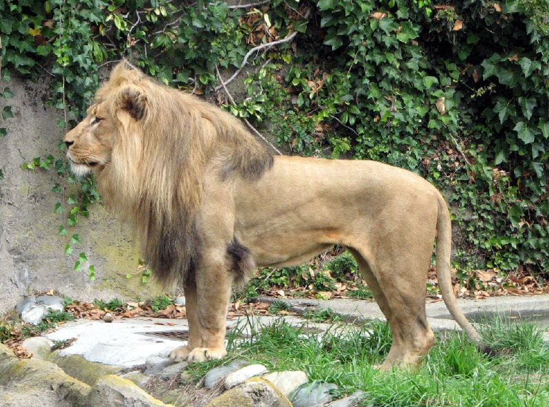 african lion. chaos - African Lion-