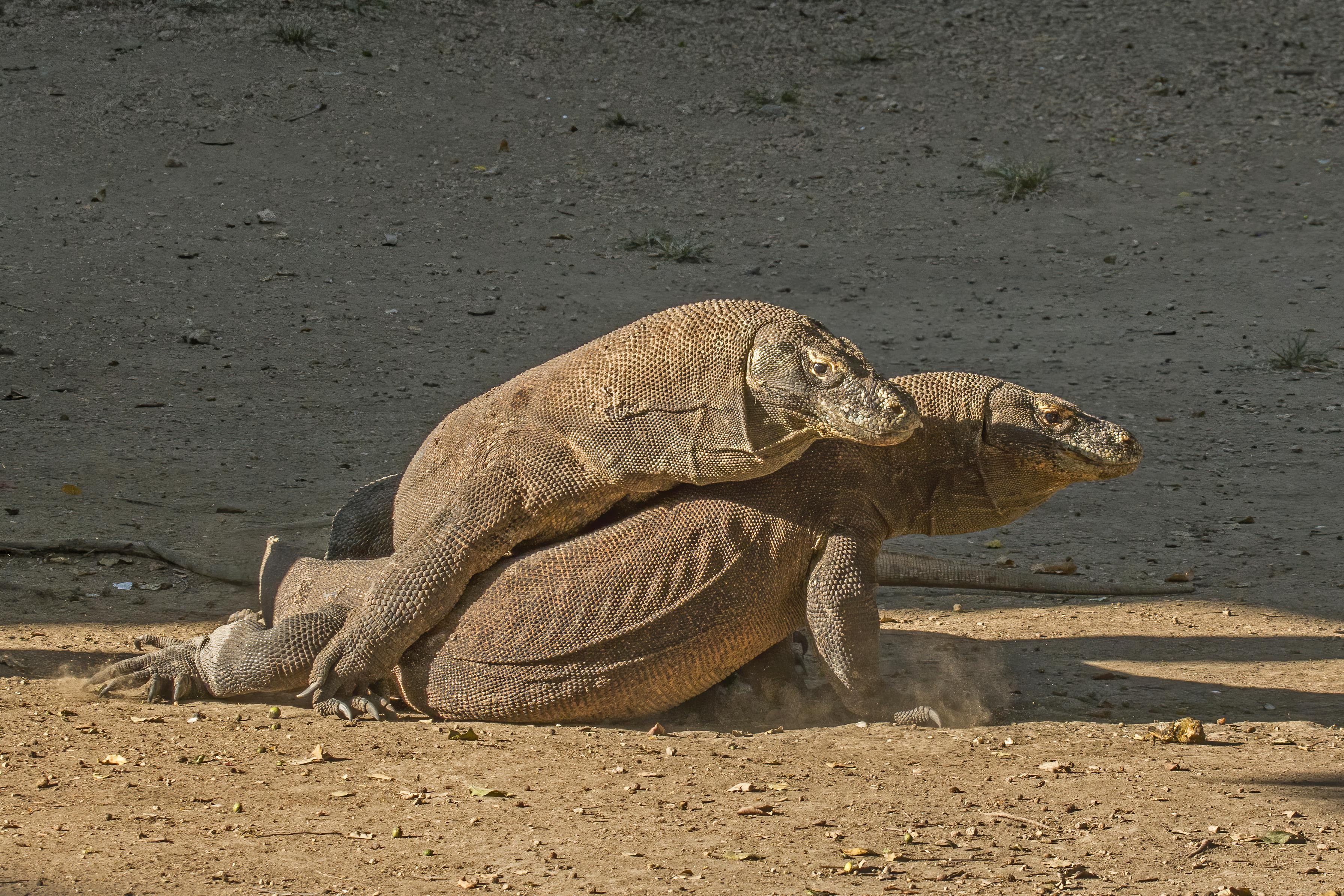 Komodo Dragon Wikipedia: File:Komodo Dragons (Varanus Komodoensis) Fighting.jpg