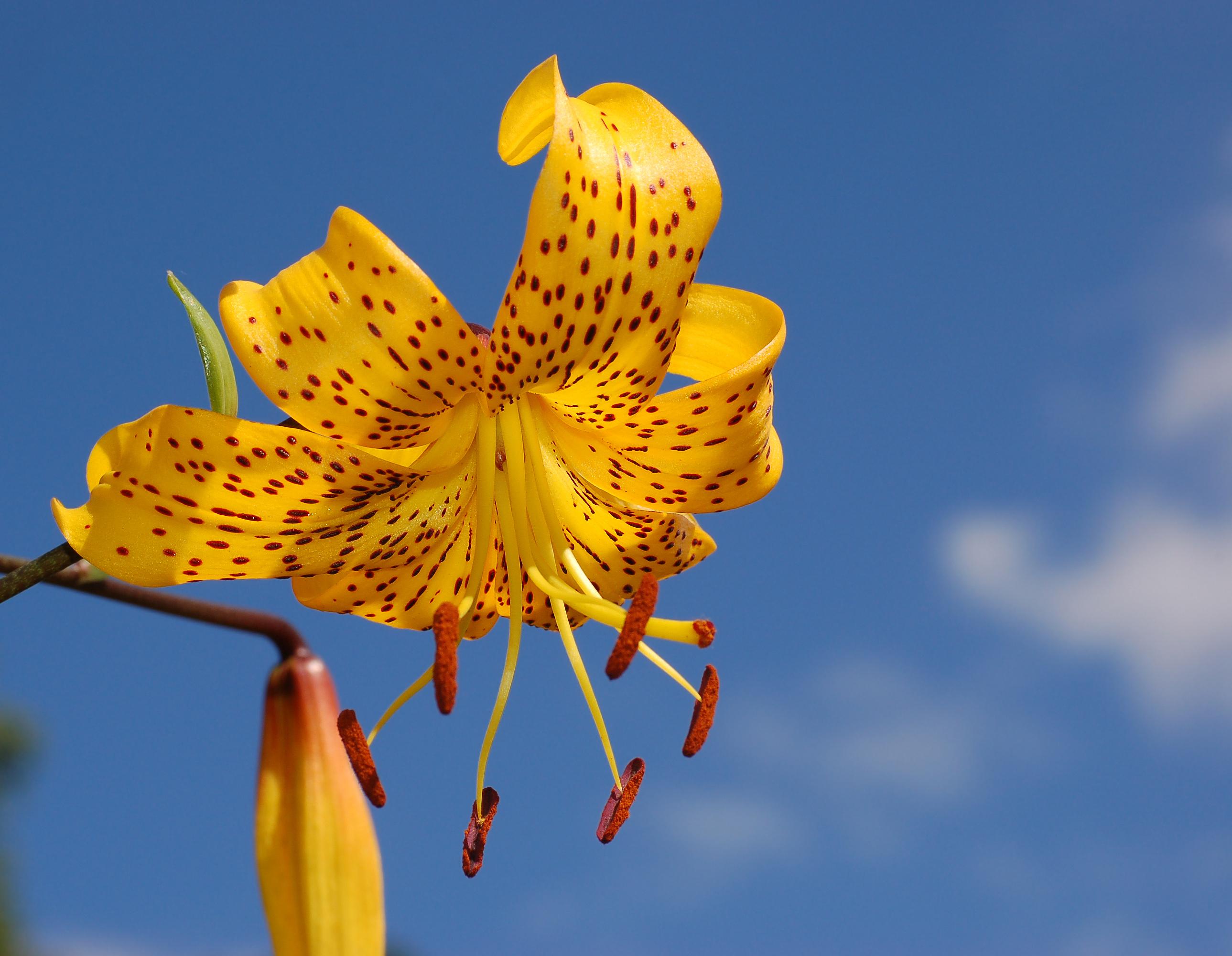Filelily lilium citronella flowerg wikipedia filelily lilium citronella flowerg izmirmasajfo