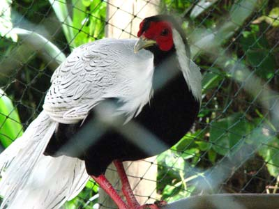 Male Lophura nycthemera (silver pheasant), a native of East Asia that has been introduced into parts of Europe for ornamental reasons Male Silver Pheasant.jpg
