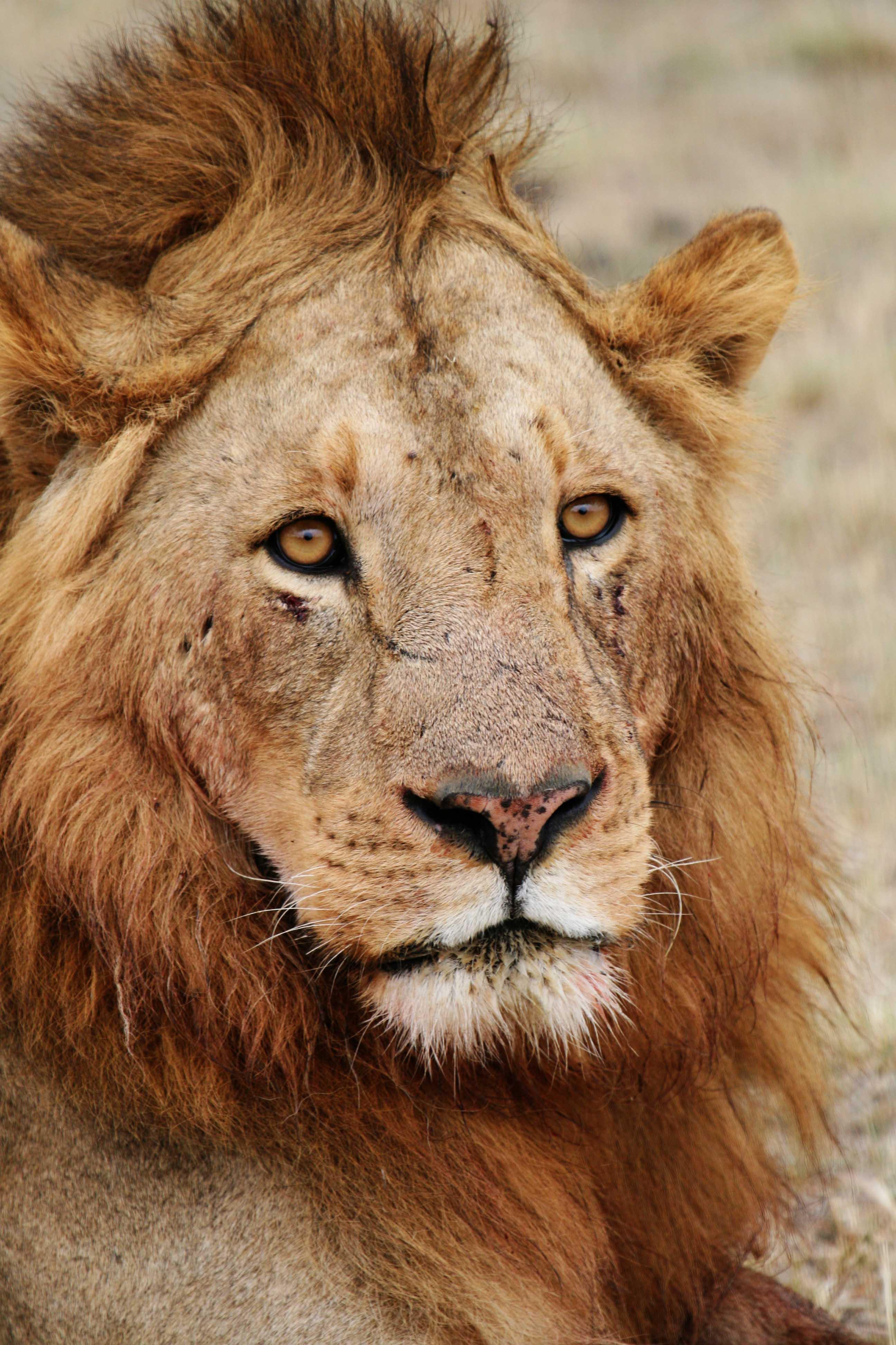 File:Male lion face.jpg