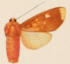 <i>Melese drucei</i> species of insect