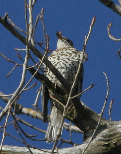 http://upload.wikimedia.org/wikipedia/commons/2/2b/Mistle_Thrush_Singing.JPG