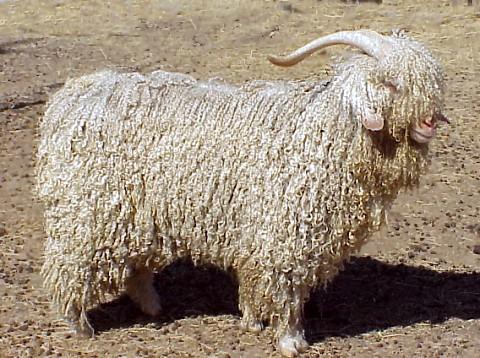 chèvre angora — Wiktionnaire 1d2a20af6c2