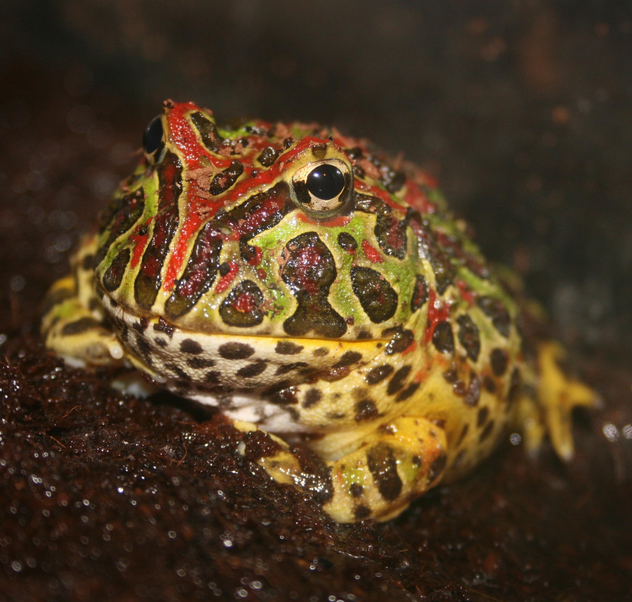 Argentine Horned Frog Wikipedia