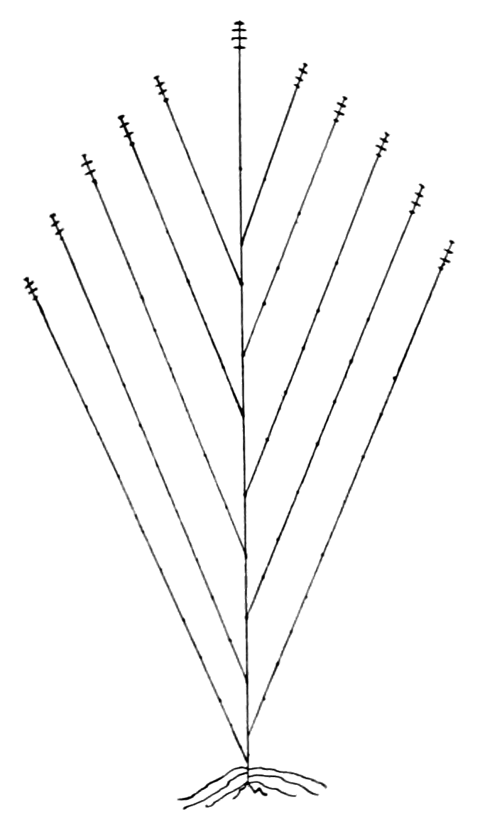 PSM V68 D065 Probable structure of the progenitor of the corn plant.png