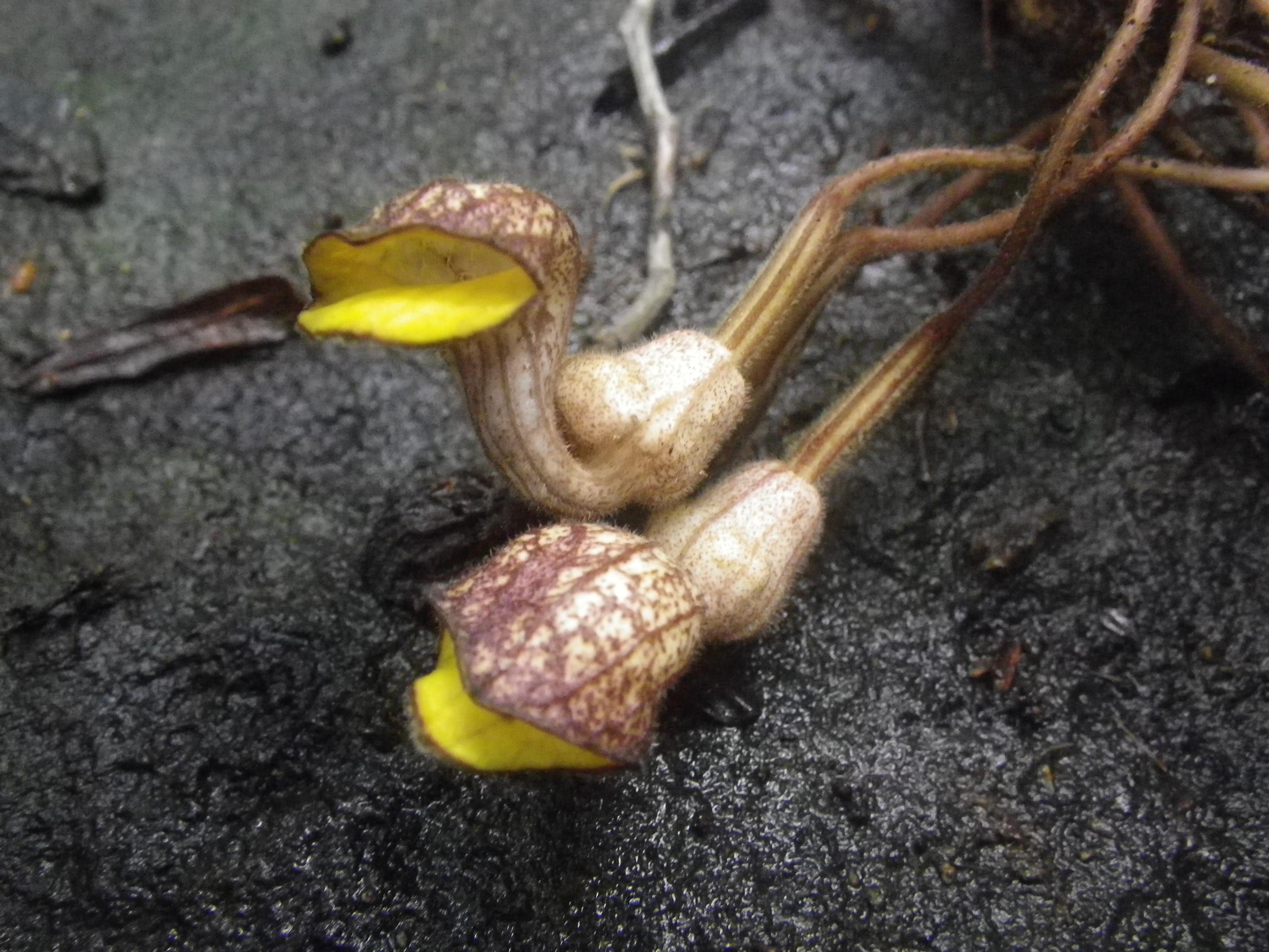 Tình yêu cây cỏ ĐV2 - Page 20 Pararistolochia_enricoi_%28flowers%29