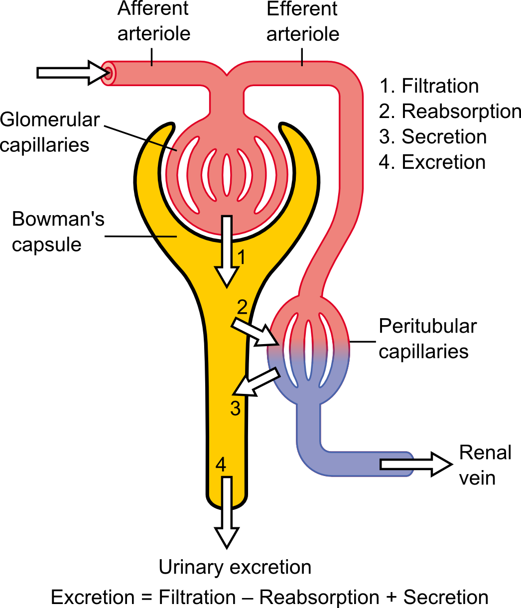 Ultrafiltration Renal Wikipedia