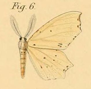 Tập tin:Pl.2-06-Endropia packardii=Narthecusa perplexata (Walker