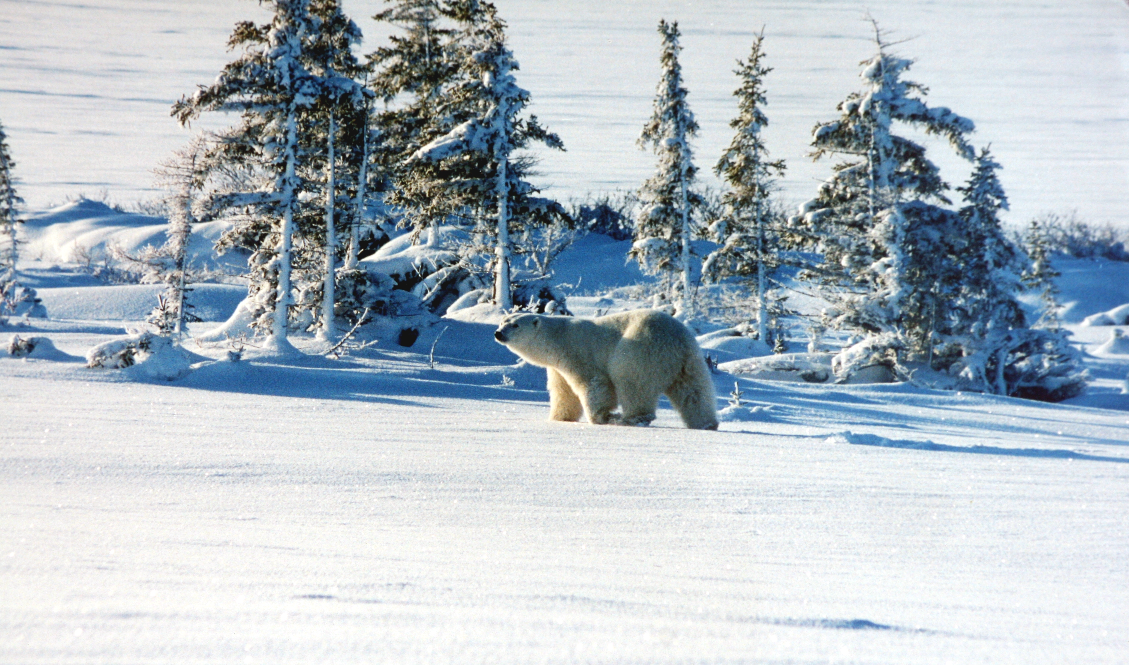 file polar bear winter jpg wikimedia commons. Black Bedroom Furniture Sets. Home Design Ideas