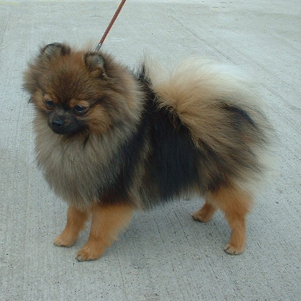pictures of pomeranian dog gallery