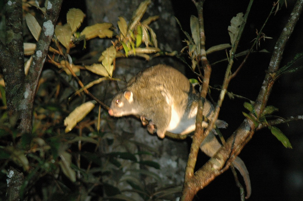 The average litter size of a Green ringtail possum is 1