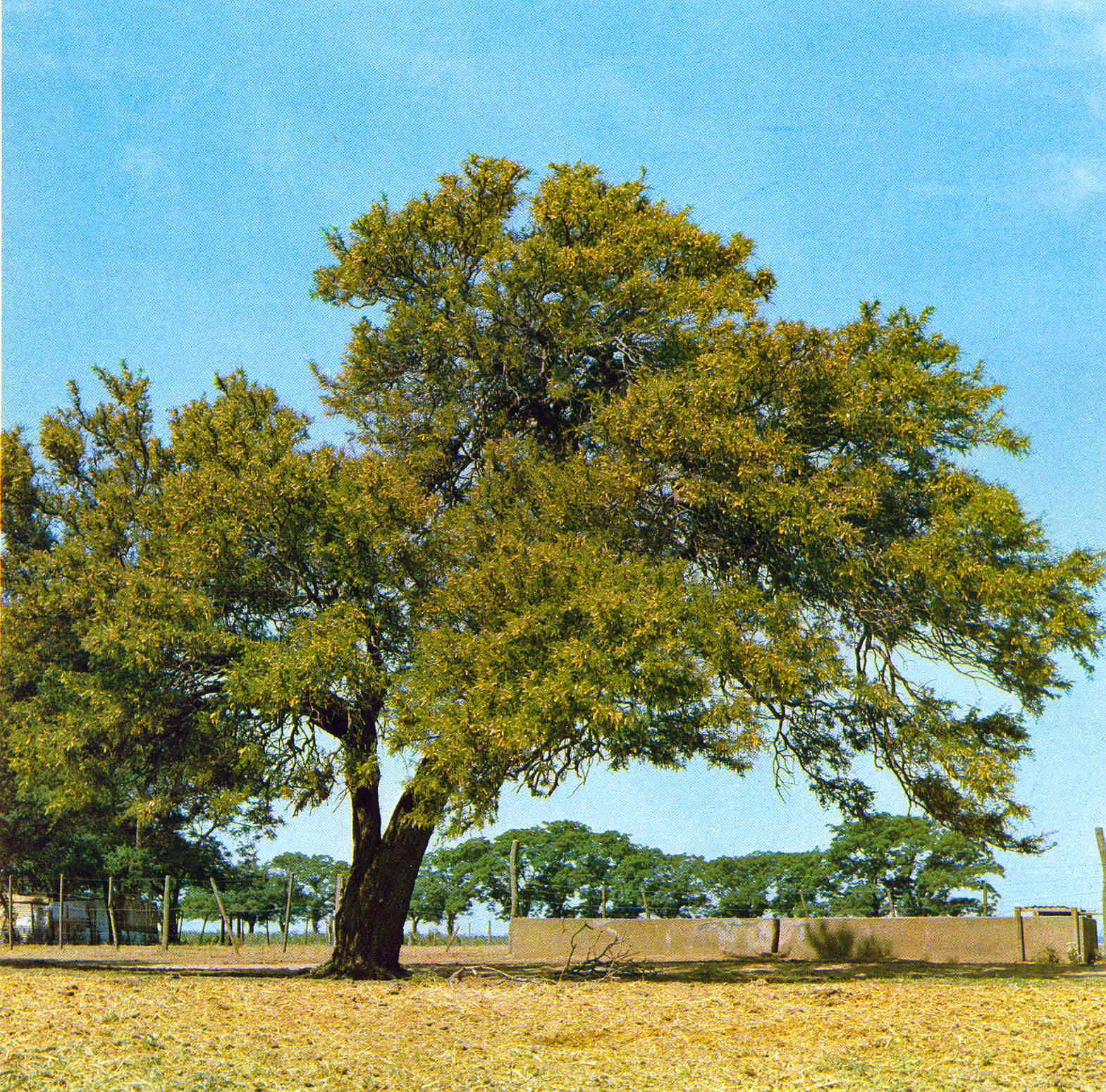 File:Prosopis algarrobilla.jpg - Wikipedia, the free encyclopedia