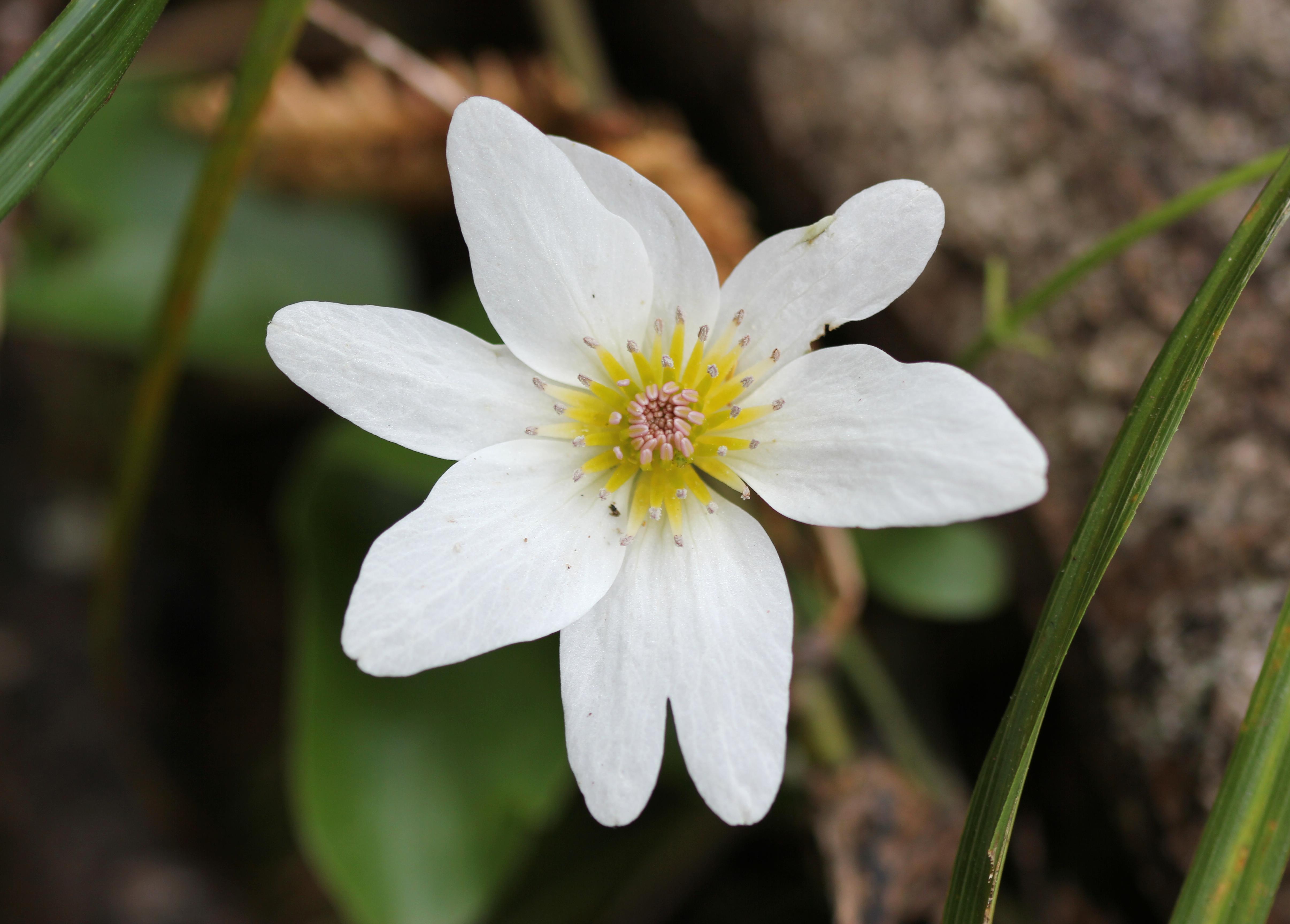 Clematis Paniculata Propagation Clematis Paniculata Jpg