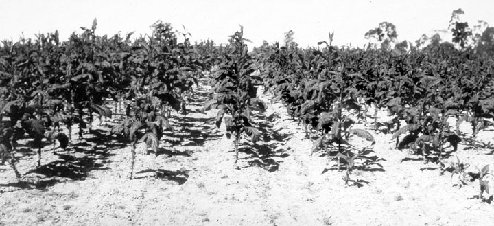 File:Queensland State Archives 4233 Tobacco crop showing Blue Mould 1933.png