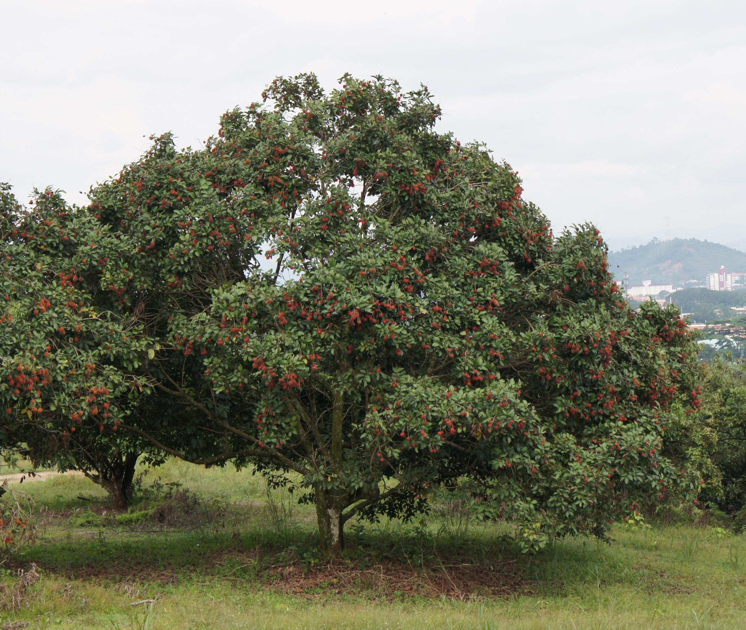 File:Rambutan tree (Nephelium lappaceum) 02 crop.JPG ...