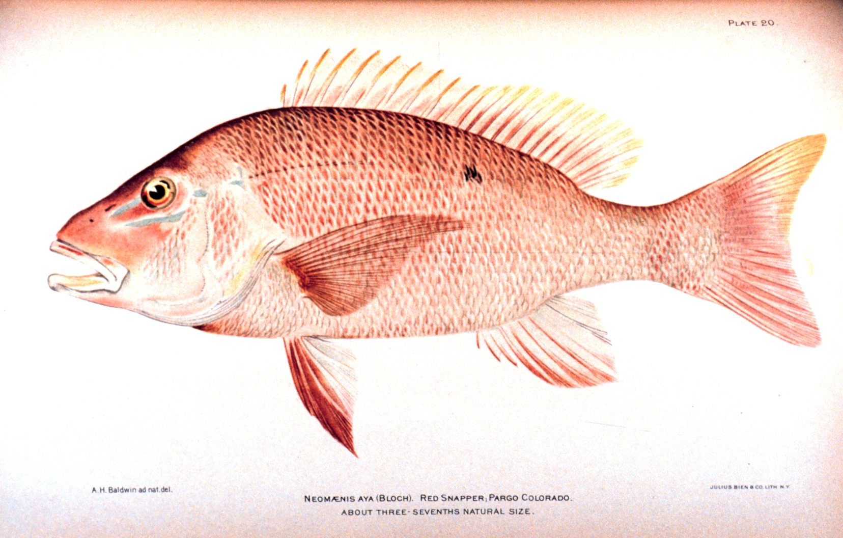 File wikipedia for Red snapper fishing