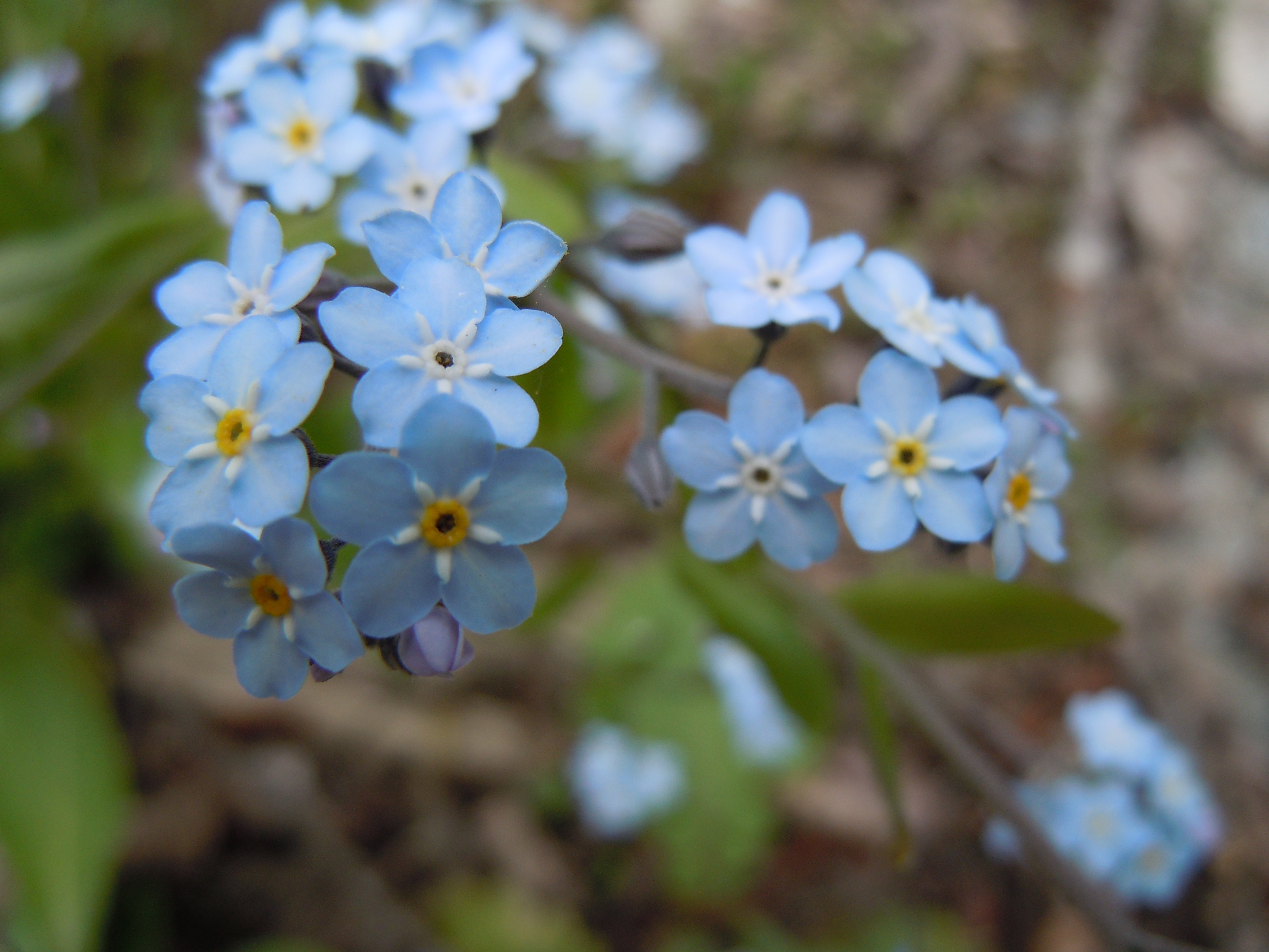 File Romanian Flora Wild blue small flower 00 JPG Wikimedia mons