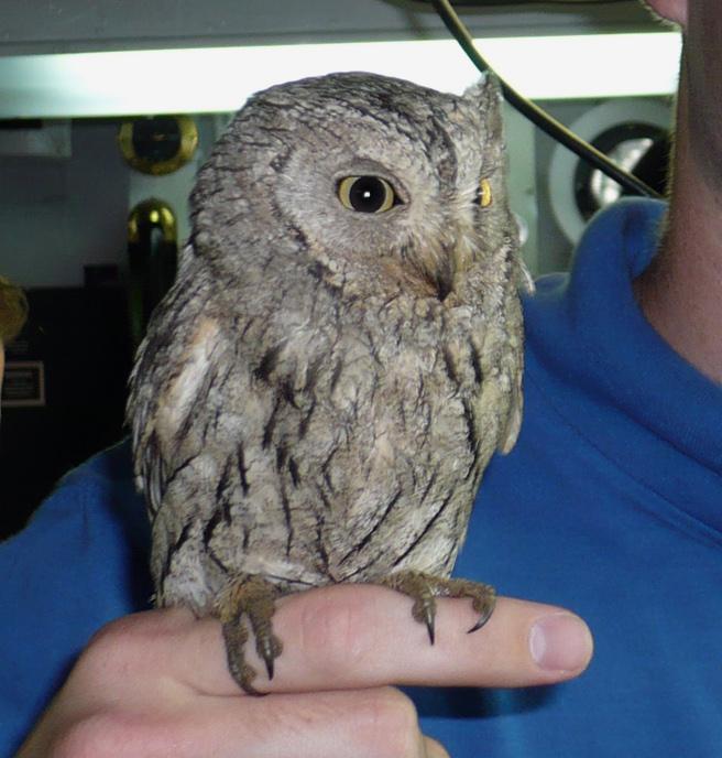 Various Sizes Screech Owl Photo