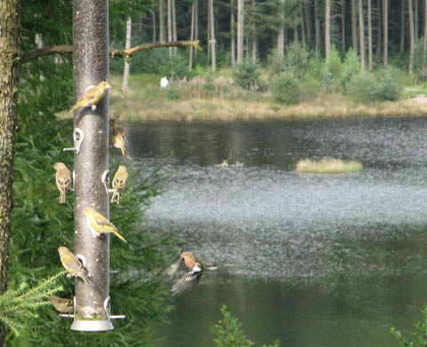 Small birds feeding at Cwmbrwyno Kite Feeding Centre - geograph.org.uk - 1094104