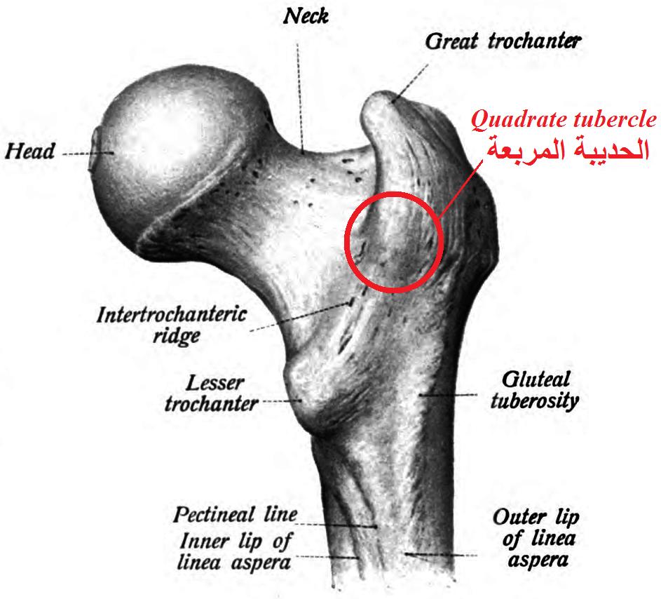 Quadrate tubercle - Wikipedia