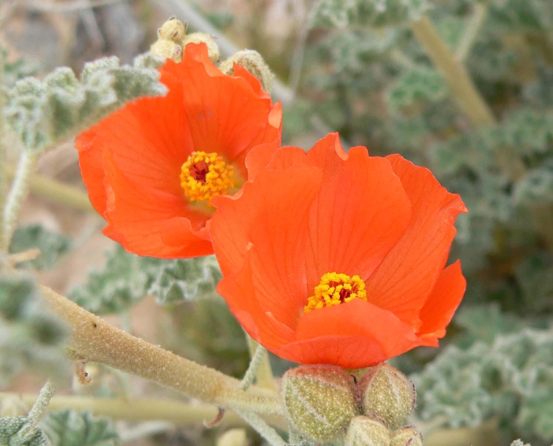 Sphaeralcea ambigua Sphaeralcea ambigua Desert Globemallow Apricot Mallow plant lust