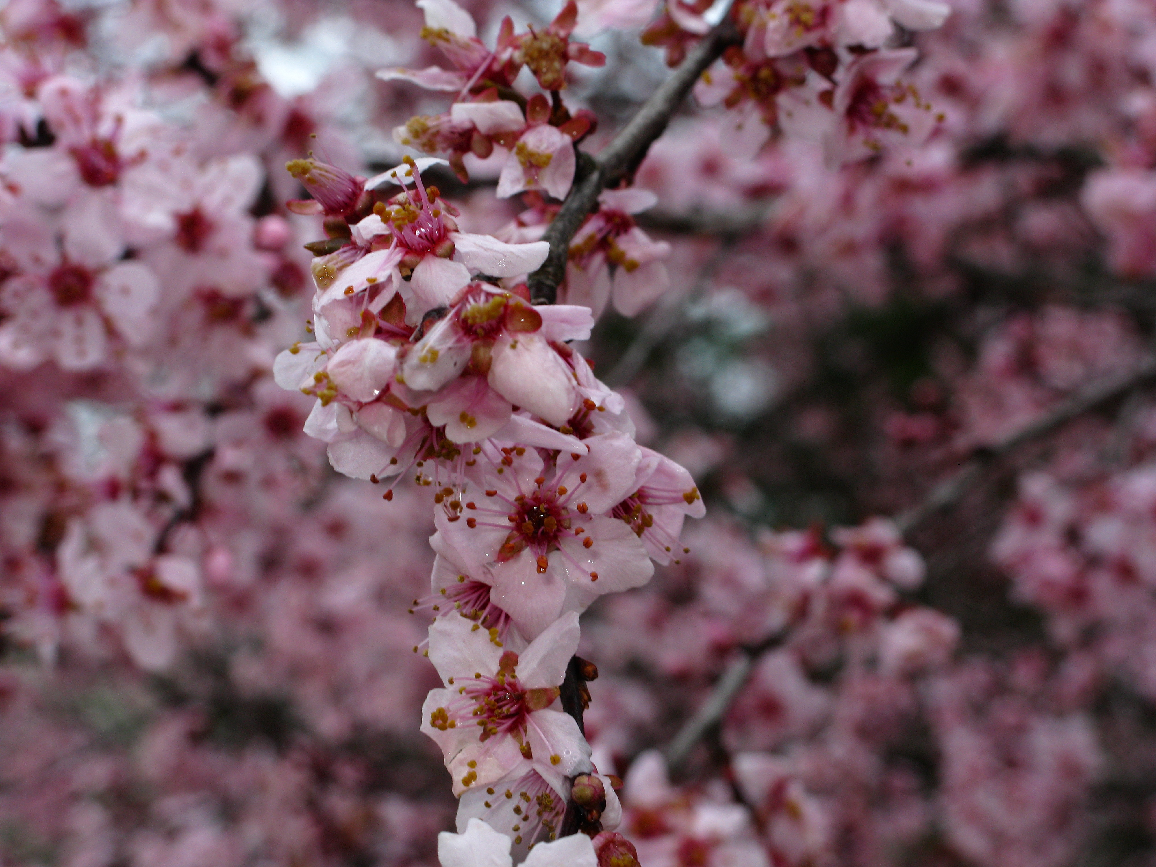 Filespring Plum Purple Tree West Virginia Forestwanderg