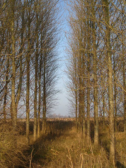 Stand of trees at New Fen - geograph.org.uk - 636879