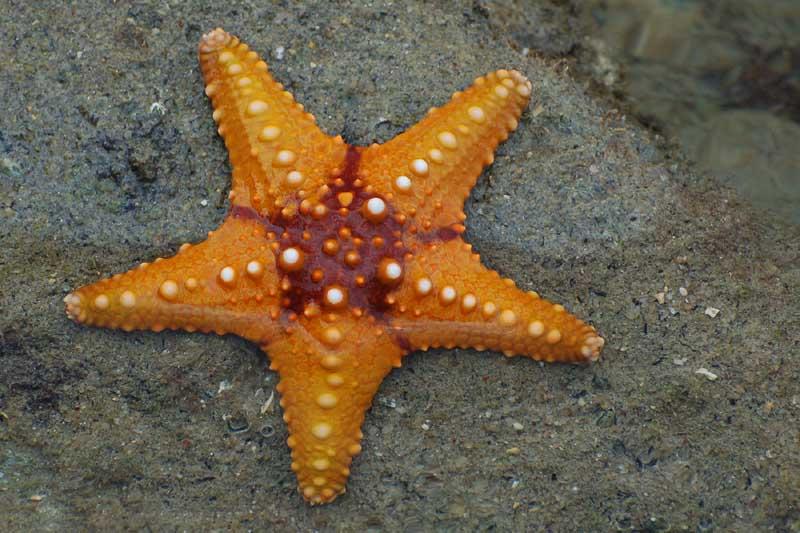 Quiero la imagen de.... - Página 5 Starfish_02_(paulshaffner)
