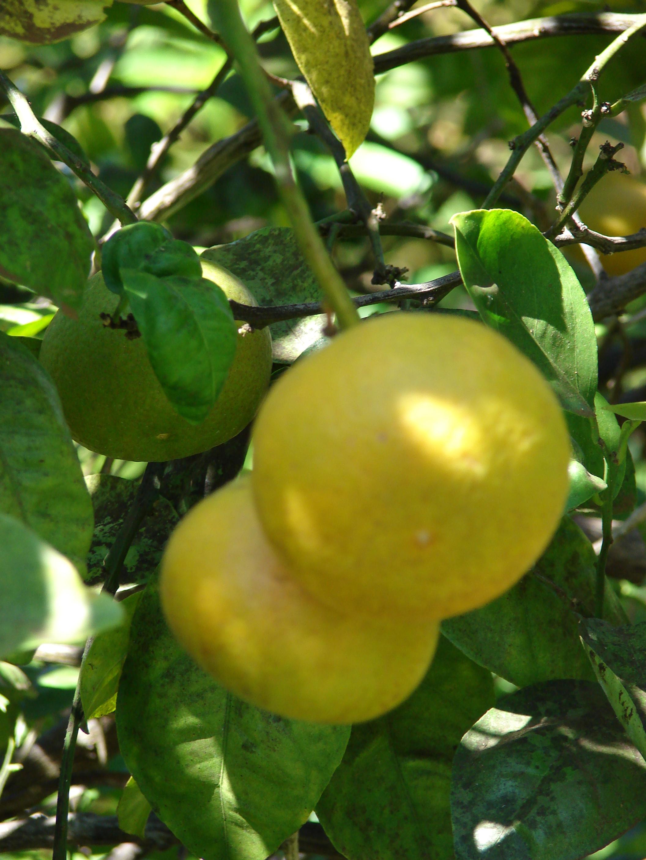 Citrus Sinensis Distribution Citrus Sinensis.jpg
