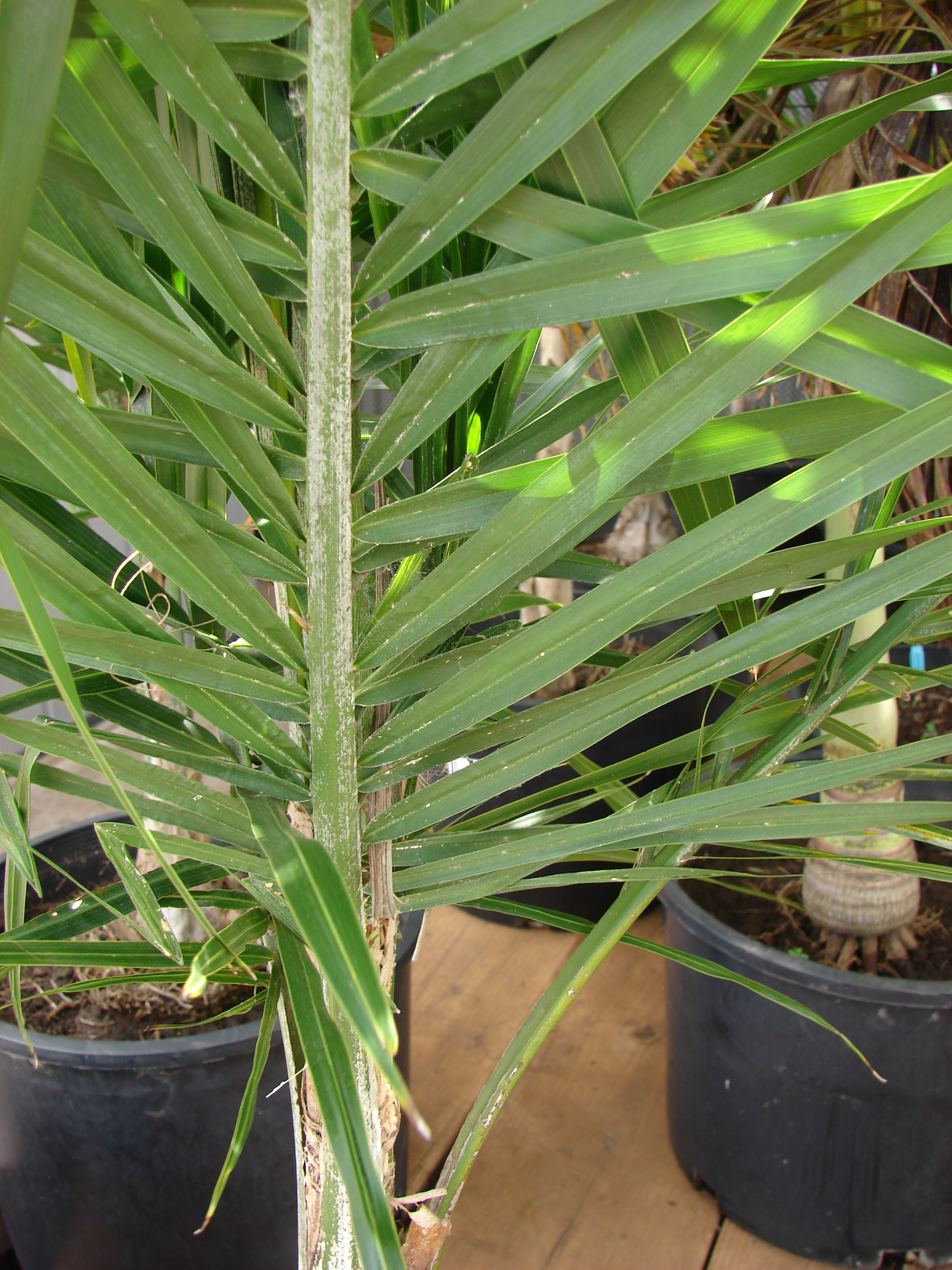 Home Depot Plants Indoor Drescenia