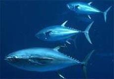 טונה כחולת-סנפיר