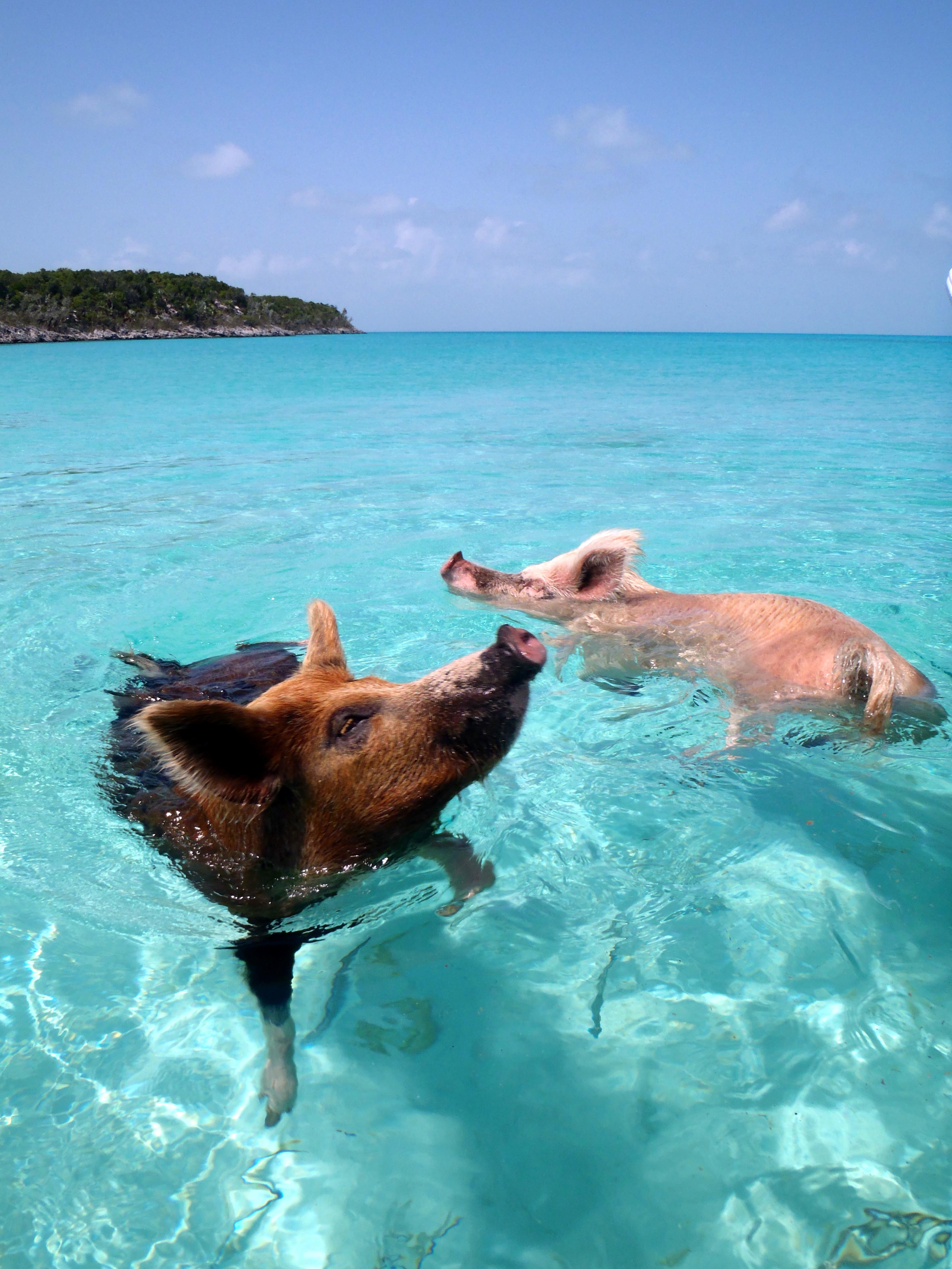 Pig Beach - Wikipedia, the free encyclopedia