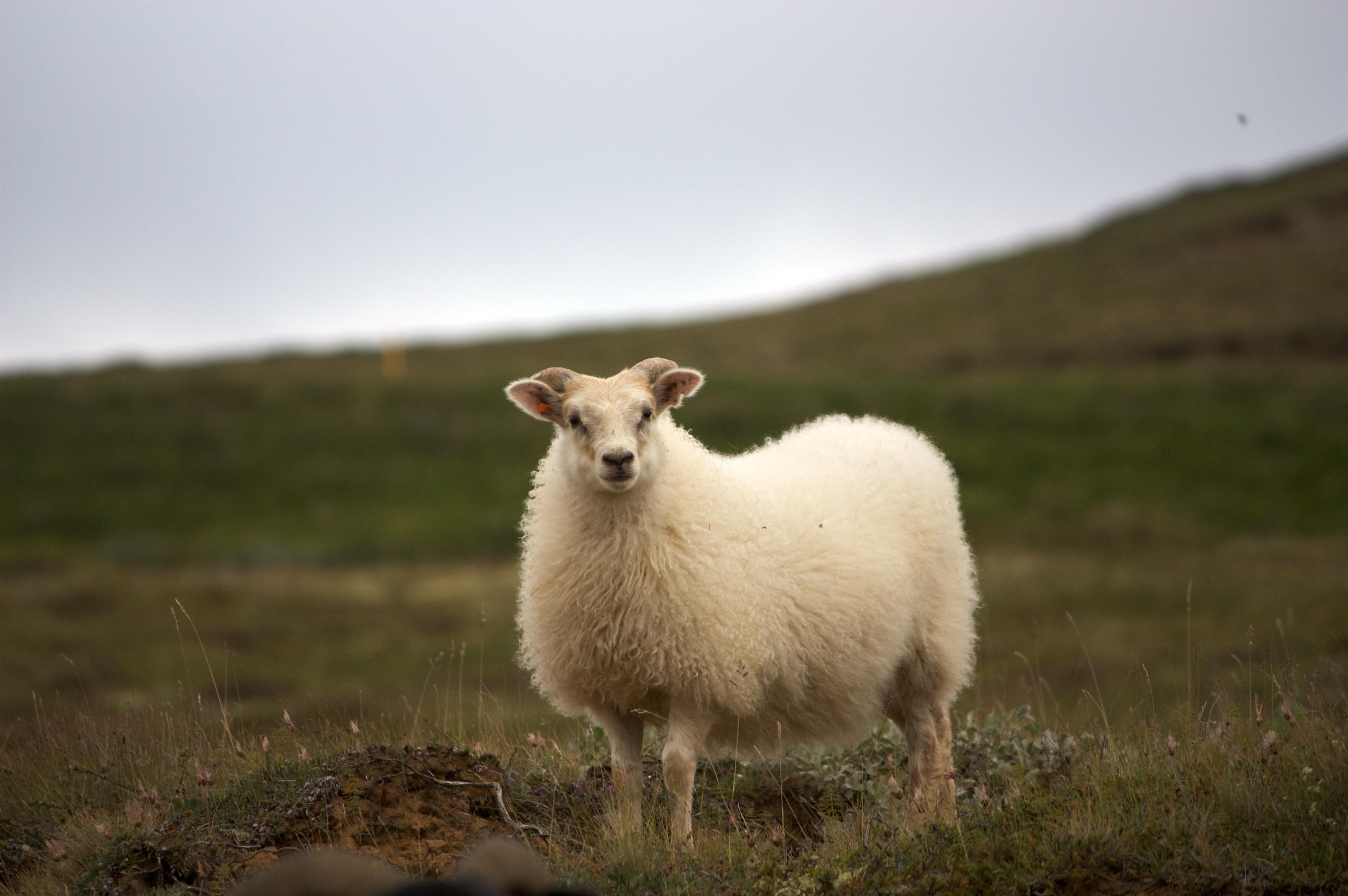 White sheep - photo#8
