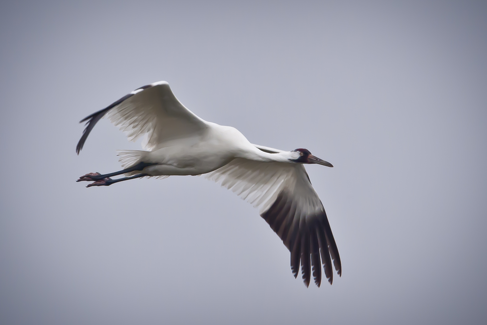 Whooping crane flight photo for The crain