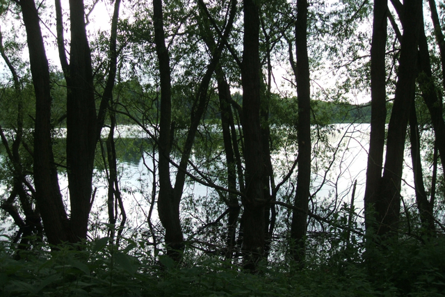 Willows fringing Daventry Reservoir - geograph.org.uk - 1431661