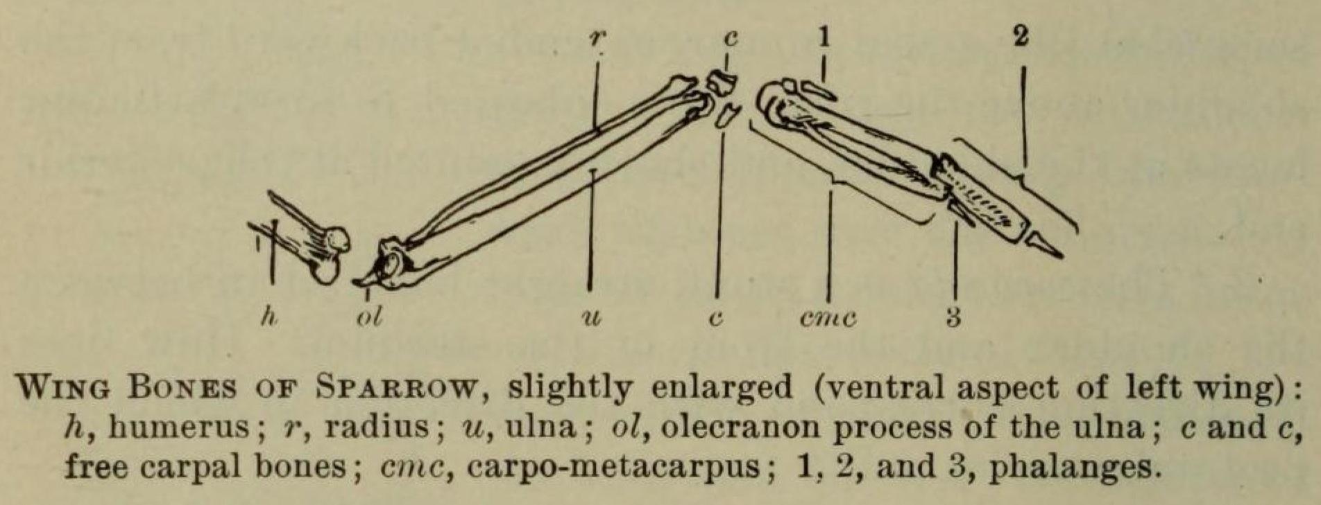 Wing_Bones_of_Sparrow file wing bones of sparrow jpg wikimedia commons