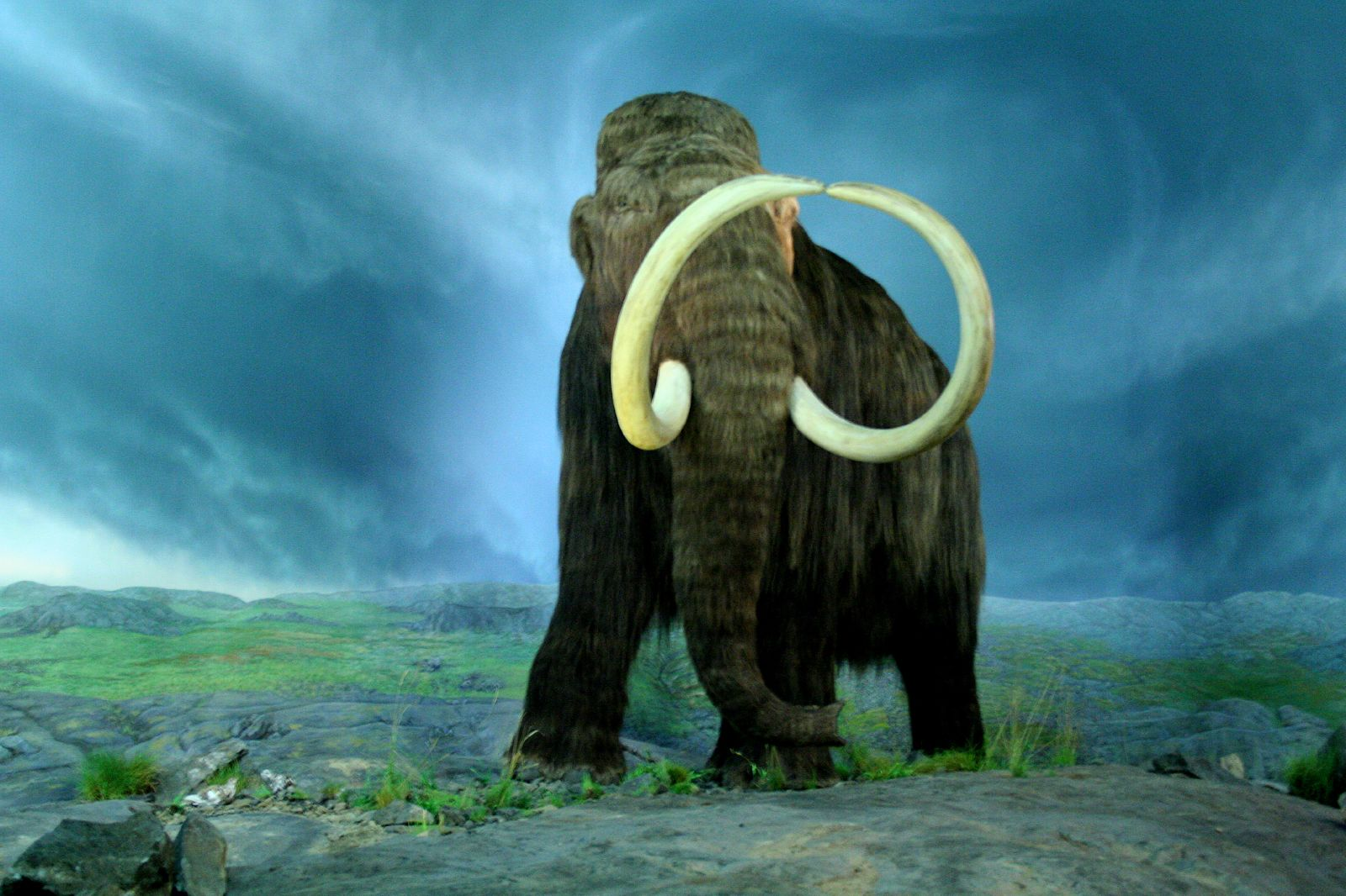 FileWooly Mammoth RBCjpg Wikimedia Commons : WoolyMammoth RBC from commons.wikimedia.org size 1600 x 1066 jpeg 240kB