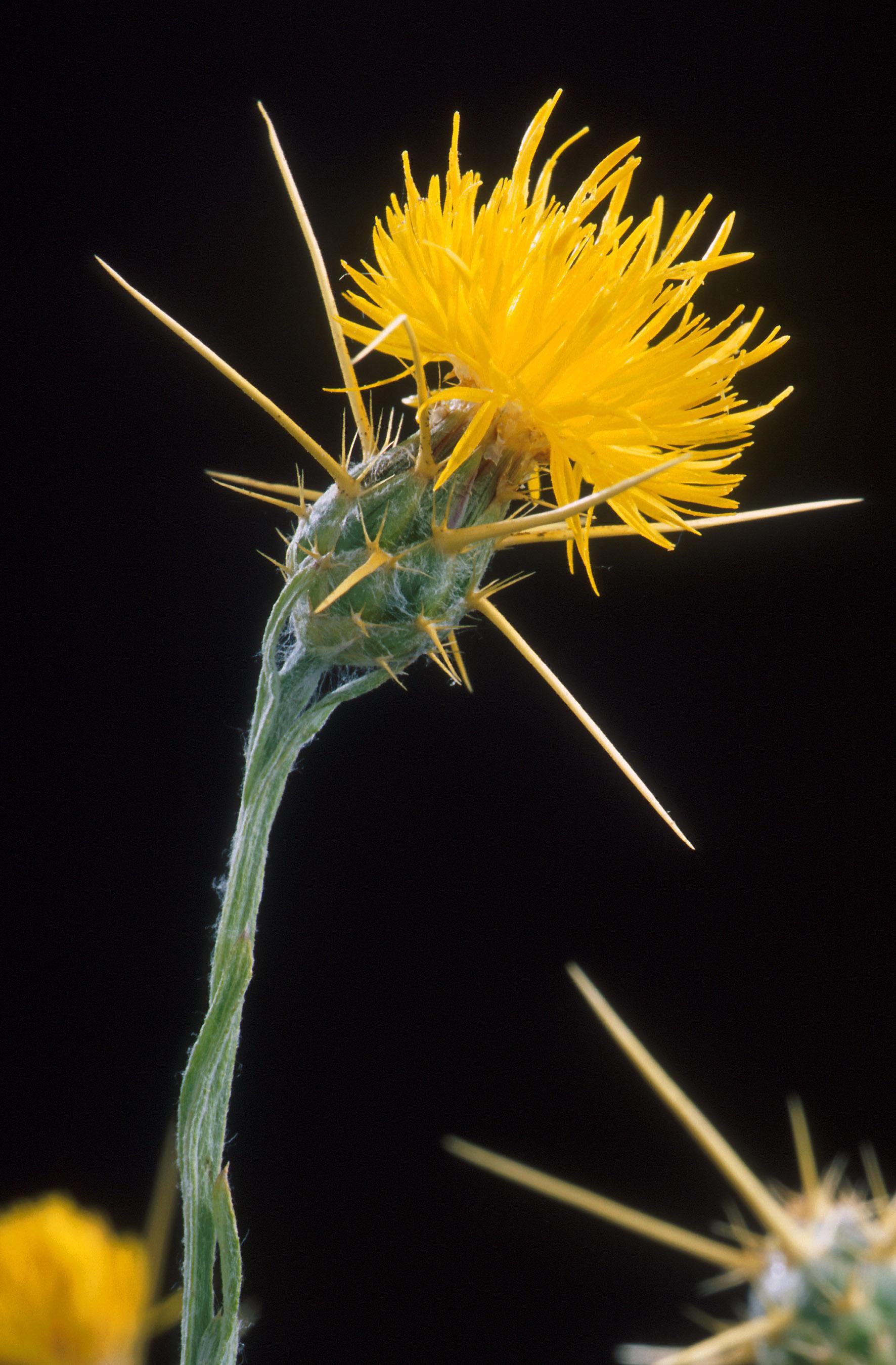 Centaurea solstitialis wikipedia yellow star thistle flower mightylinksfo