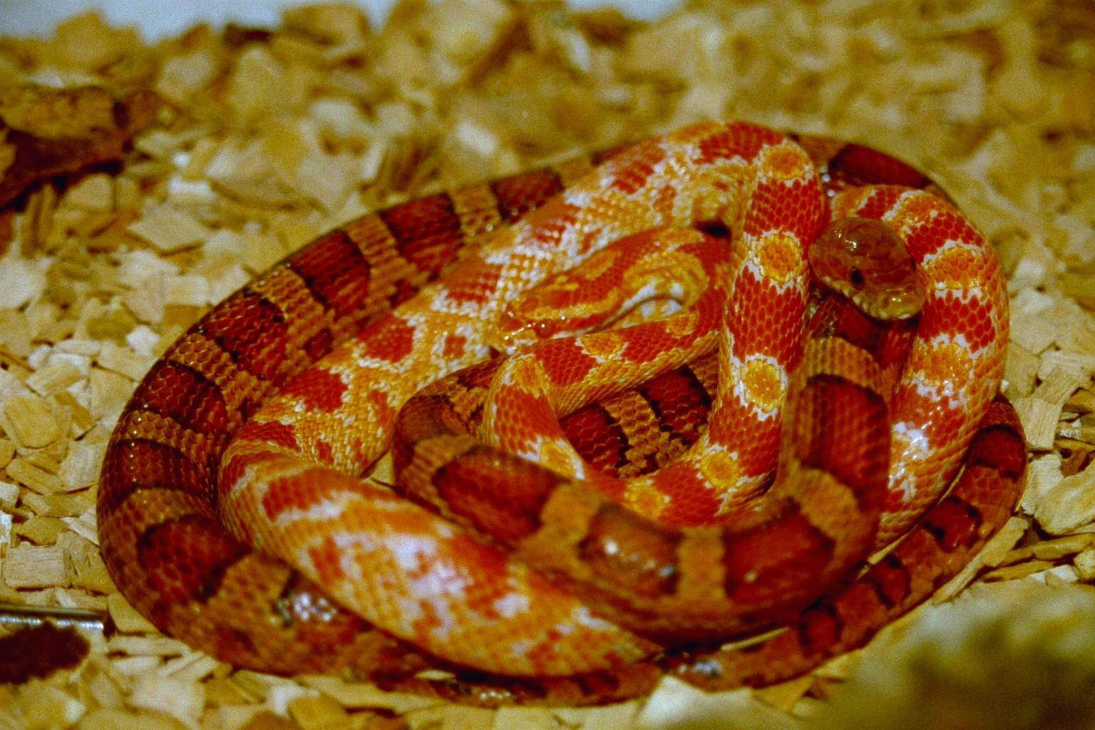 Resultado de imagen para Serpiente de Maíz