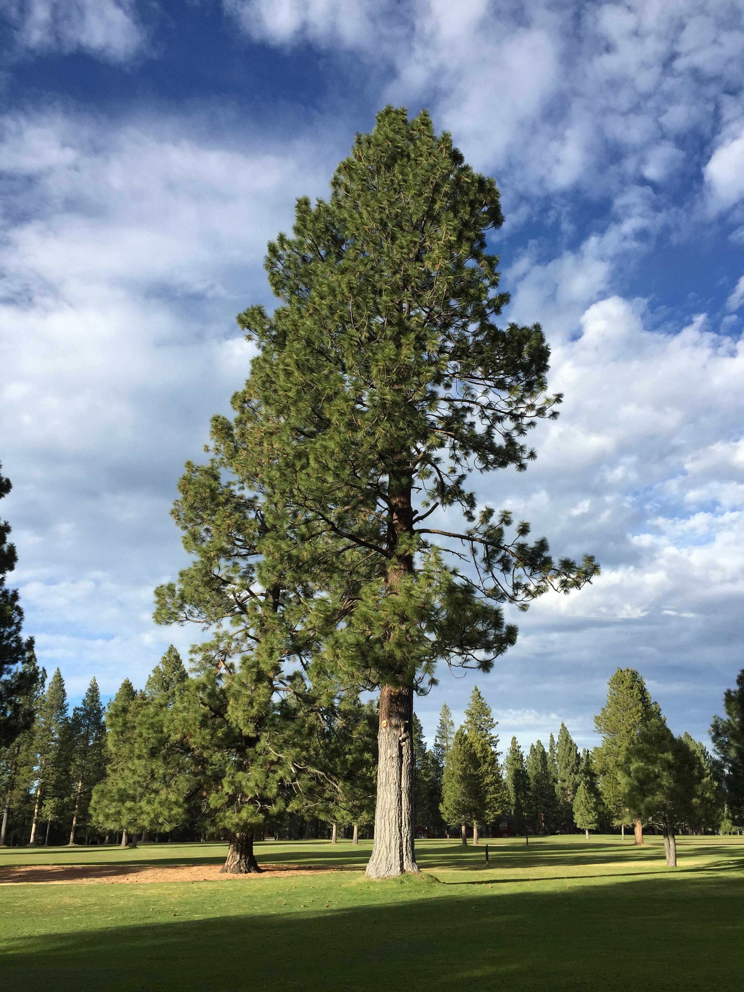 Large Image For Asclepias Incarnata Swamp Milkweed: File:2015-10-30 16 33 04 Large Pine Tree At The Ponderosa