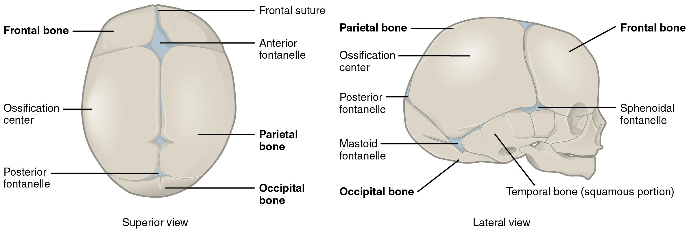 File:702 Newborn Skull-01.jpg - Wikimedia Commons