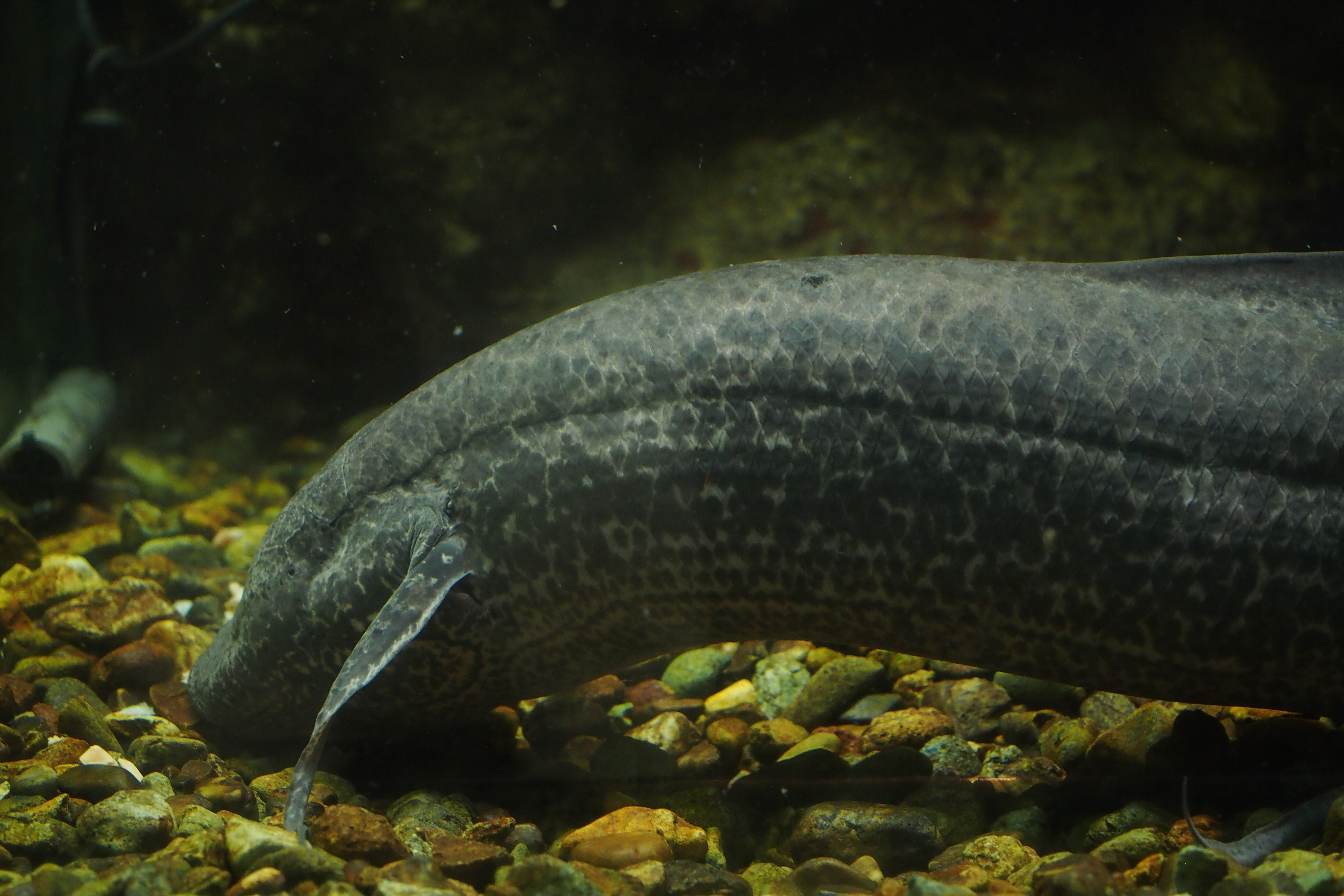 File:African lungfish (15779867175).jpg - Wikimedia Commons