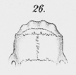 Akodon azarae 4 (26).png