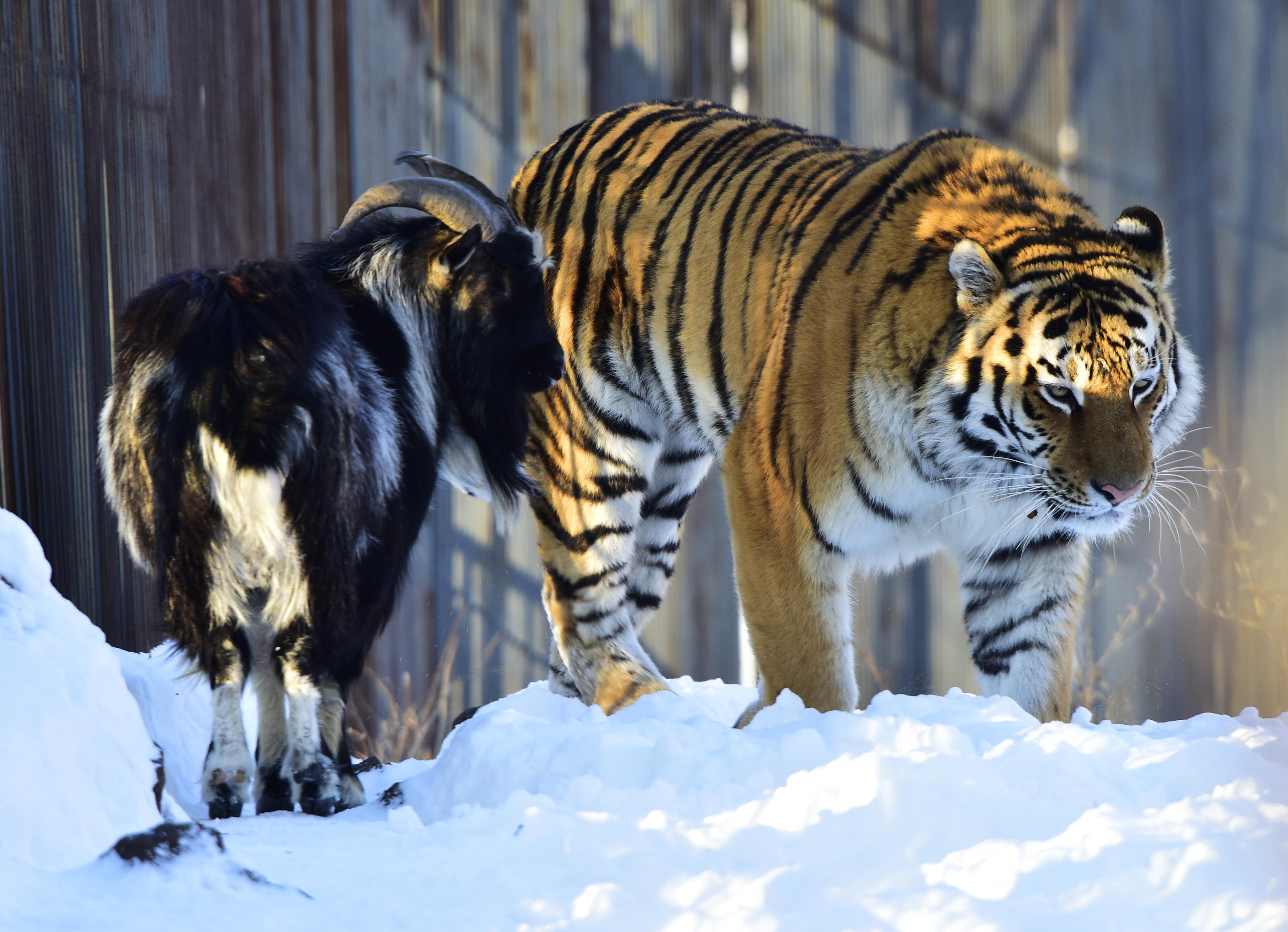 Amur and Timur 003.jpg