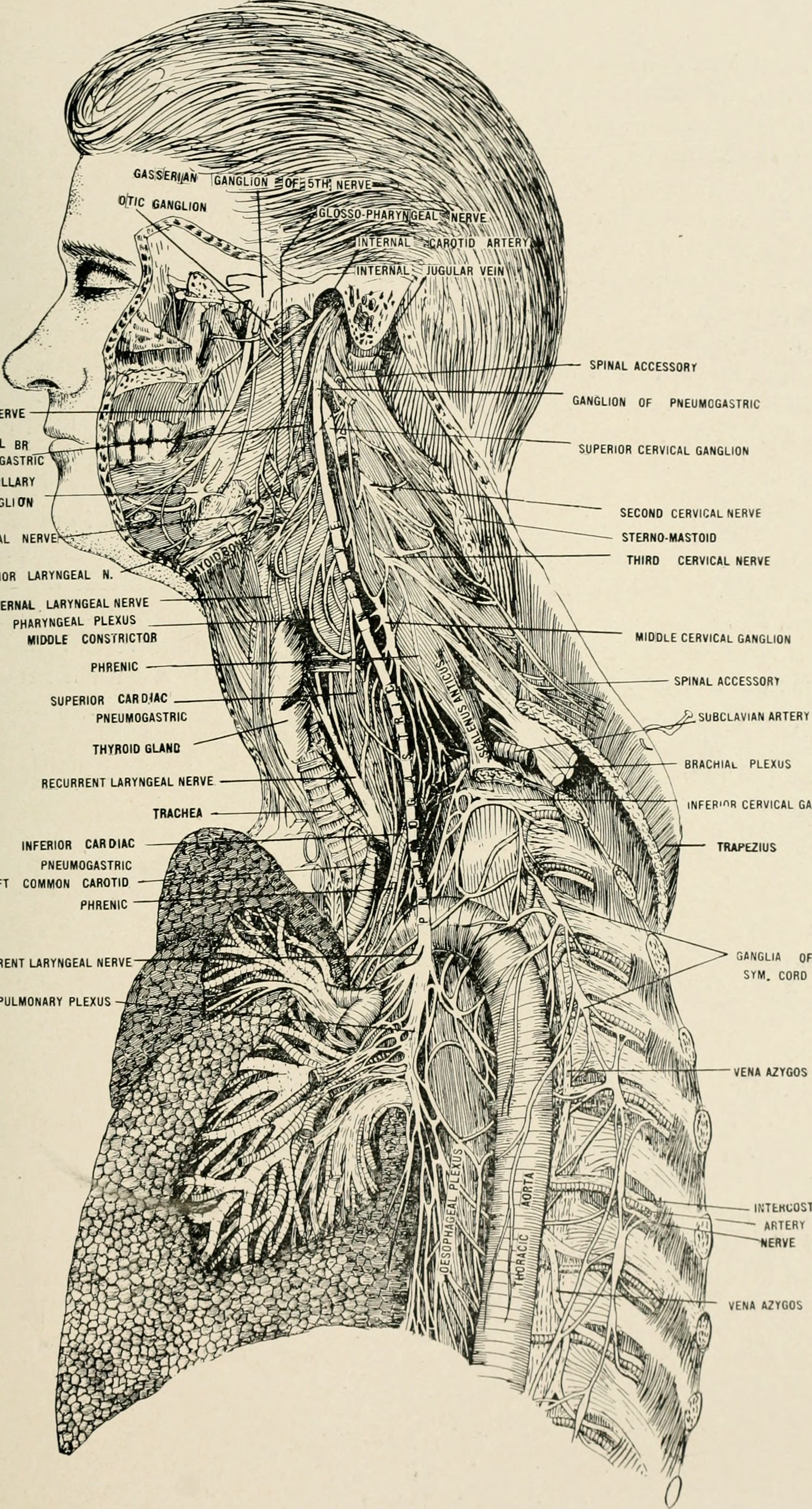 Fileanatomy In A Nutshell A Treatise On Human Anatomy In Its