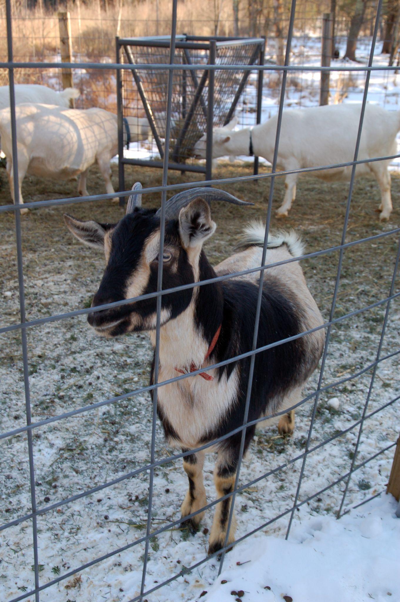File:Arapawa dairy goat jpg - Wikimedia Commons