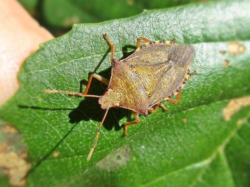 Arma custos (Heteroptera sp.), Ravels, Belgium
