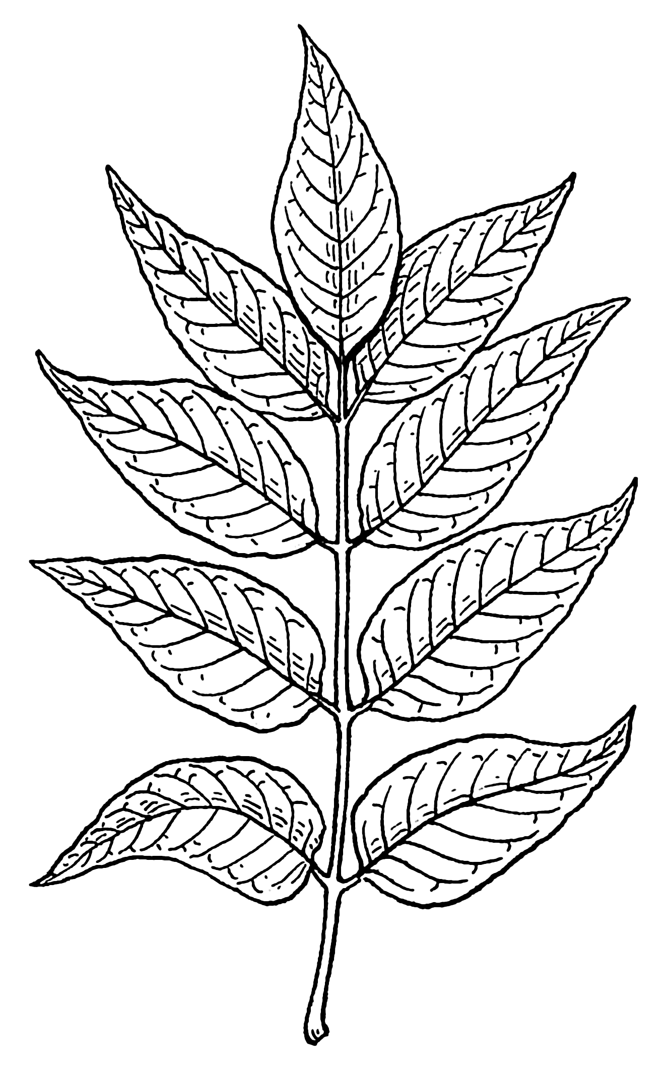 Line Drawing Leaf : File ash leaves psf wikimedia commons