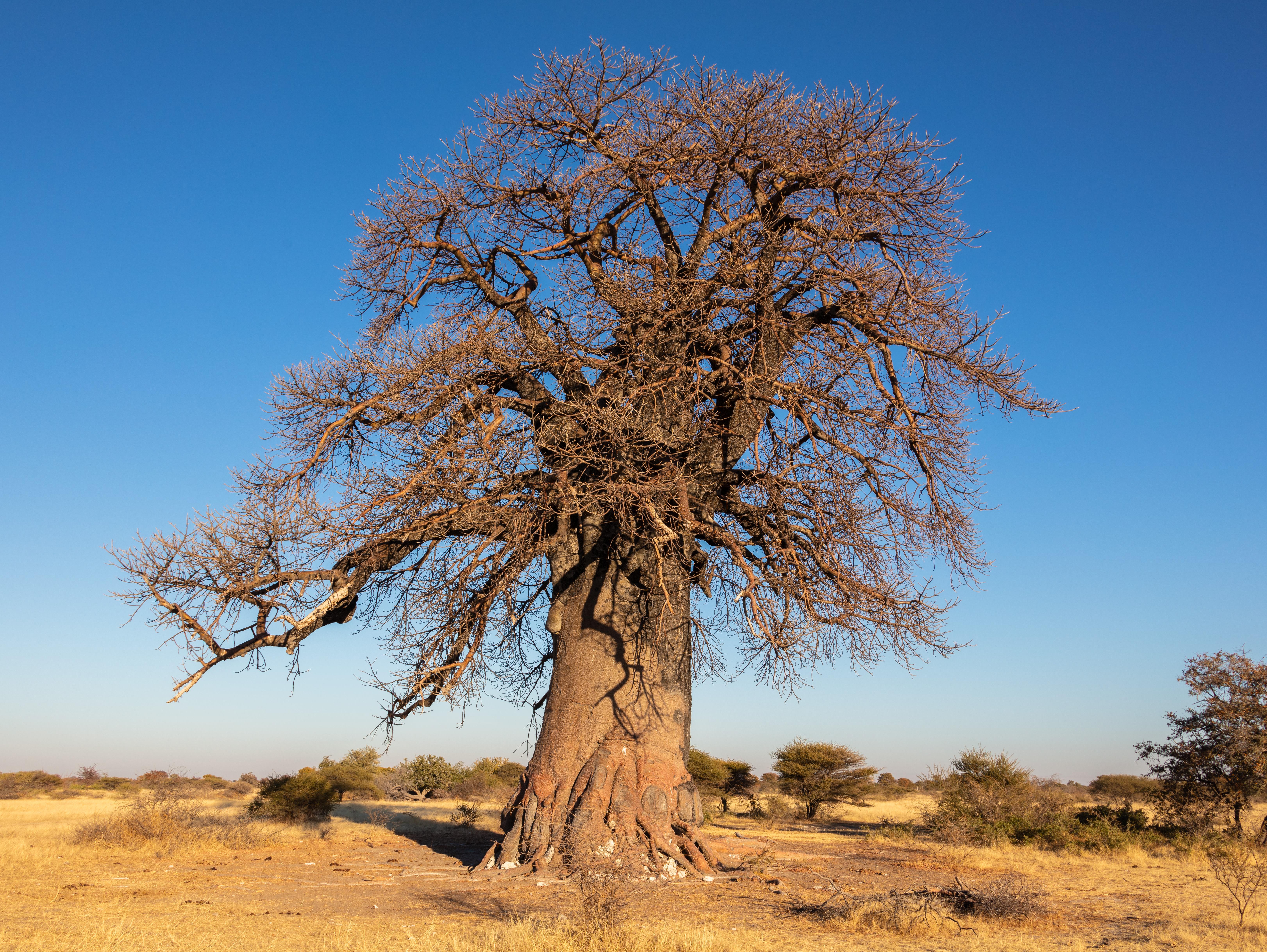 Baobab propiedades